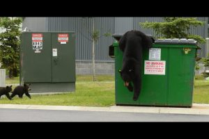 http://www.adn.com/article/20140617/black-bear-cubs-steal-children-s-lunchboxes-apu