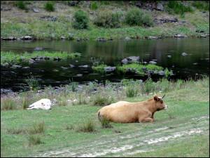 le troupeau à Lanau