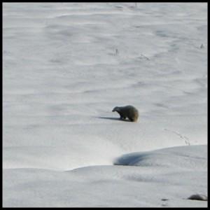Blaireau dans la neige (Cézallier 2008)