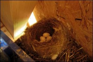 nid de rouge-queue à l'entrée de la maison