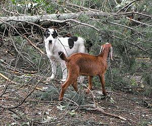 Central Asia Shepherd Dog, Self-published work, Uploaded with UploadWizard