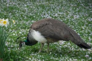 Pavo_cristatus_-Tierpark_Hagenbeck,_Hamburg,_Germany_-female-8a_(1)