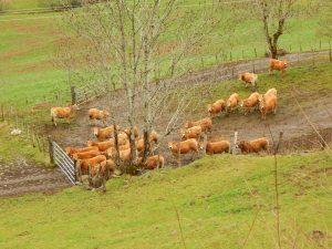troupeau de jeunes  AUBRAC  probablement la sortie de l'etable de cette saison d'hiver
